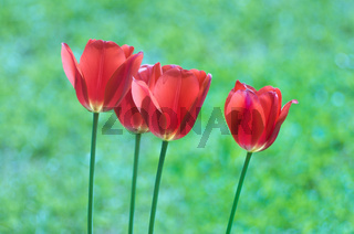Tulips in the garden. A bouquet of red tulips on a green background.