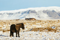 Icelandic horse on a farm in the snow