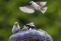Feldsperling und Haussperling Jungvogel / Passer domesticus - Passer montanus