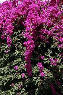 Bougainvillea spectabilis mit magenta-farbenen Blüten