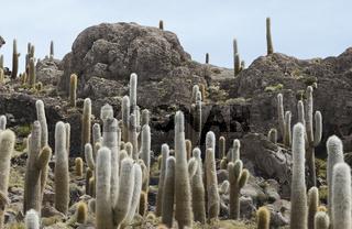 Large Cacti at Incahuasi Island, Salar de Uyuni, Bolivia