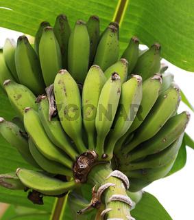 Unripe bunch of bananas growing on banana tree