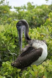 Brauner Pelikan (Pelicanus Occidentalis urinator),Santa Cruz Insel, Galapagos Inseln, Ecuador