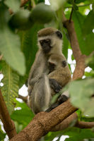 Vervet monkey mother cuddling baby on branch