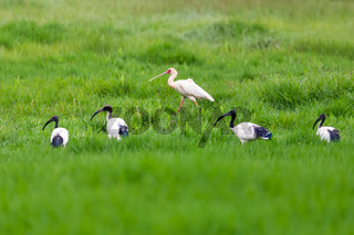 African spoonbill and Sacred irbis, Ethiopia wildlife