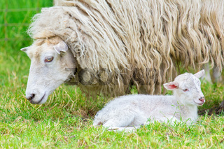 White sheep with newborn lamb in spring