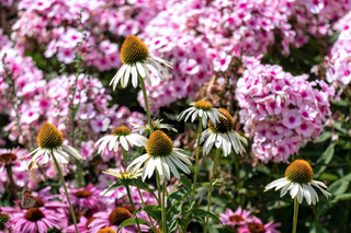 Beautiful pink phloxes and purple cone flowers (echinacea) in a summer flower bed