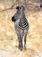 Zebra in the grassy nature, evening sun