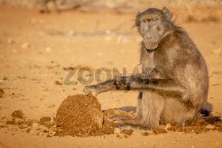 Chacma baboon sitting and eating.