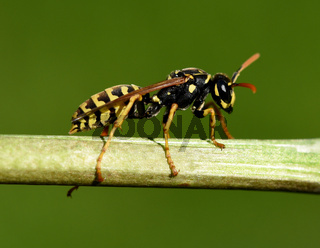 Wespe, Vespula germanica