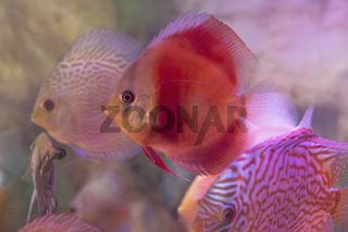 Discuss fish close up in the aquarium tank. Expensive fish for decoration