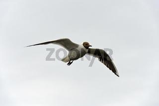 Lachmöwe (Chroicocephalus ridibundus) im Flug, Schleswig-Holstein, Deutschland