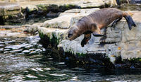 Sea Lion is jumping into the water in a zoo in austria
