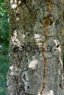 Korkeiche, Quercus suber