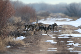 Coyote(s) in Bosque del Apache national wildlife refuge in New Mexico,USA